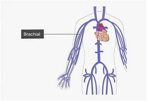 Major Systemic Labelled Image Of Brachial Vein