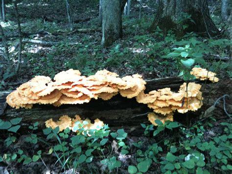 Missouri Shrooms Mushroom Hunting And Identification
