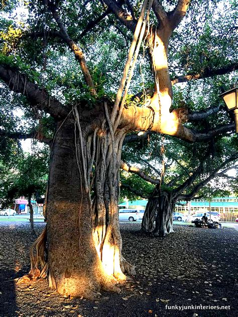 visiting americas largest banyan tree  lahaina