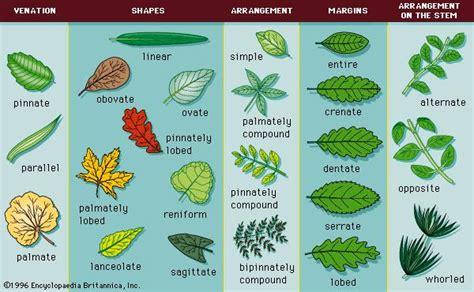 pinnately compound leaf botany britannicacom