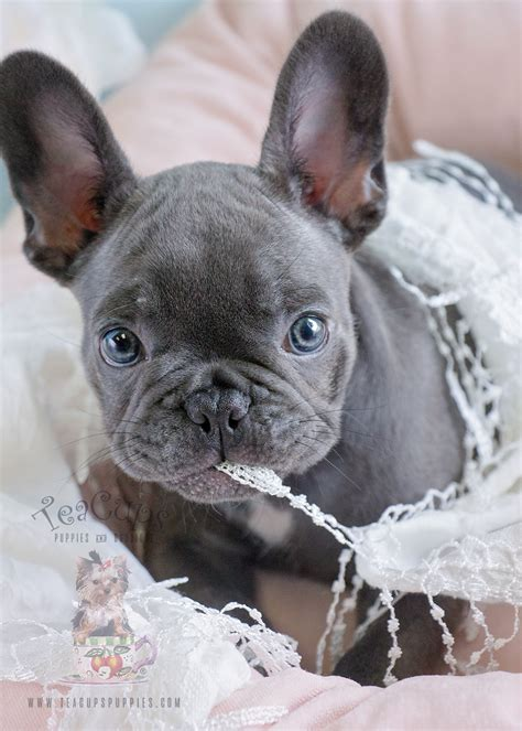 blue frenchie puppies davie florida teacup puppies