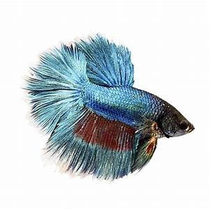 Rose Petal Betta | Petco