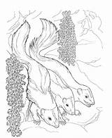 Skunk Coloring Pages Animals Printable Nocturnal Flower Night sketch template
