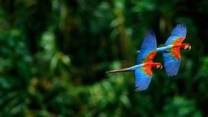 Flying Parrot HD Wallpapers   Most Beautiful Parrots   HD ...