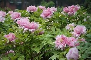 Rosa Blühender Baum Im Frühling : rosa pfingstrose baum sch n fr hling download der ~ Lizthompson.info Haus und Dekorationen