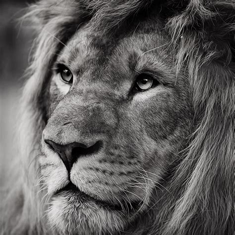 Cool Lion Wallpapers | HD Background Images | Photos ...