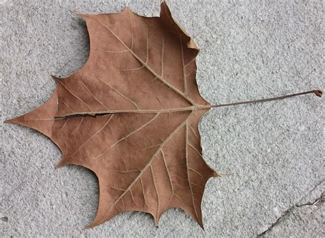 images of file a dead leaf jpg wikimedia commons