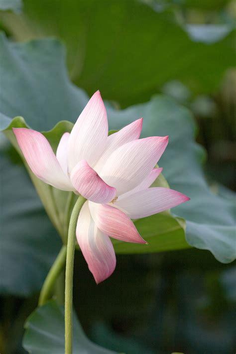 lotusslaektet wikipedia