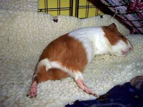 Pine Bedding For Guinea Pigs by Guinea Lynx Fleece Bedding
