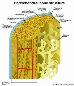 Microscopic Structure Of Bone Labeled