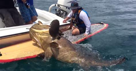 grouper caught goliath gearjunkie