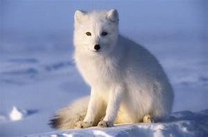 Arctic Fox Facts  Vulpes Lagopus