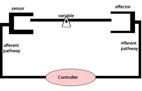 biology alcohol homeostasis negative feedback loops
