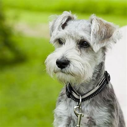 Schnauzer Miniature Dog Breed Mini Puppy Shed