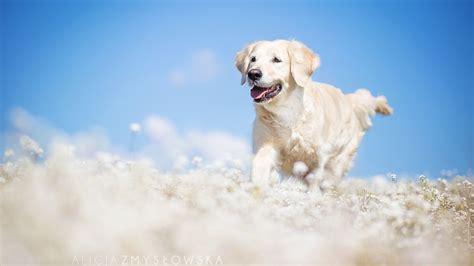wallpaper labrador dog field cute animals funny