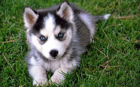 does a pomsky shed a lot pomsky a complete guide on the husky pomeranian mix