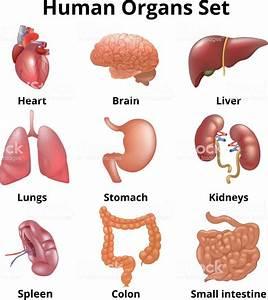 Realistic Human Organs Set Anatomy Stock Vector Art  U0026 More Images Of Abdomen
