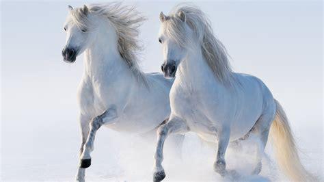 beautiful white horses running   snow