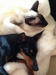 english toy terrier black and tan