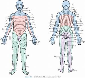 The Spinal Cord  Spinal Nerves  And Dermatomes