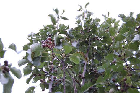non fruit bearing cherry tree pear tree flickr photo sharing