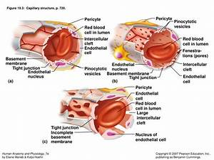 Ppt - Chapter 19  Cardiovascular System  Blood Vessels Powerpoint Presentation