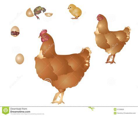 la vie de la poule image libre de droits image 37238606