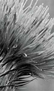 Bee on Thistle bw Donegal Ireland by Eddie Barron ...