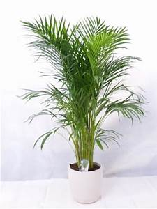 Hanfpalme Braune Blätter : palmen zimmerpflanzen kaufen echte part 4 ~ Lizthompson.info Haus und Dekorationen