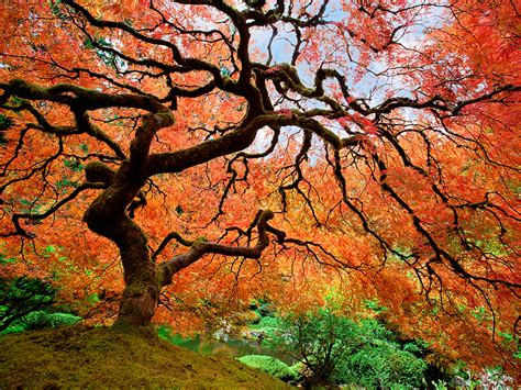 japanese trees japanese maple in portland oregon national geographic travel daily photo