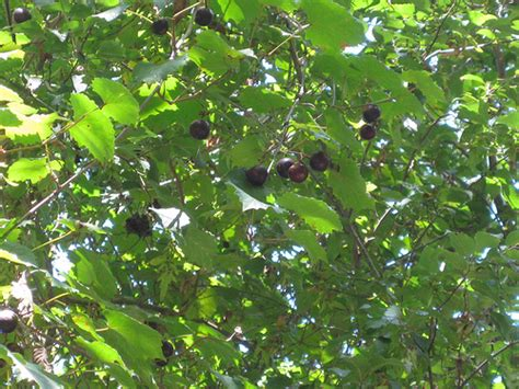Foraging Texas Grape Muscadine