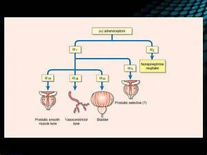 Etiology And Pathophysiology Of Bph