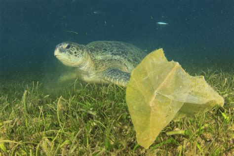 sea creatures impacted  marine debris