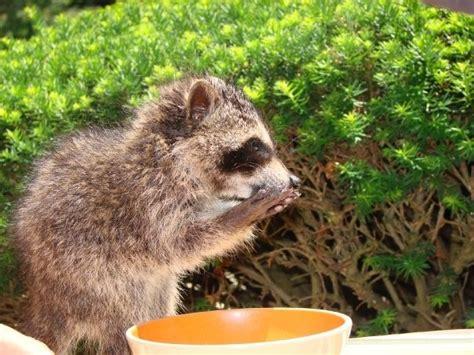 domesticated raccoon pet raccoon my kinda zoo pinterest