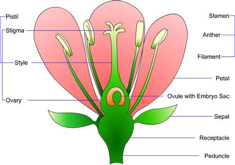 Diagram Of Flower Part by Lisiate Glenbrae School Flower Parts