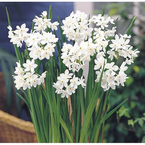 narcissus paperwhite quot ziva quot daffodil bulbs groworganic