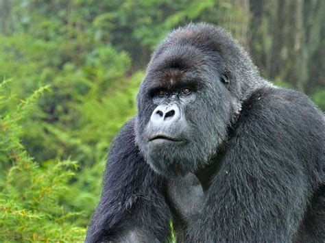 Mountain Gorilla | Gorillas | WWF