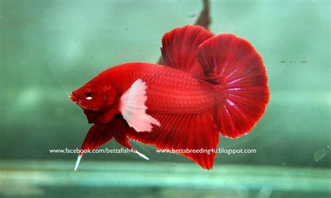 betta fish february