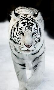 Sublime 25 Best White Tiger Photographic https://meowlogy ...
