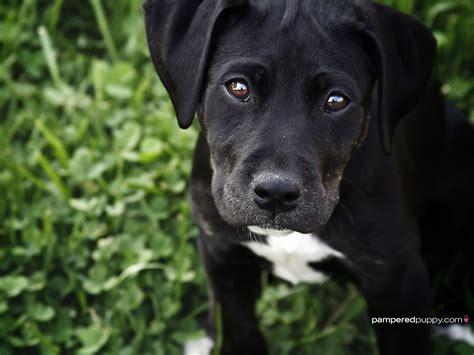 black labrador retriever puppy dogs wallpaper