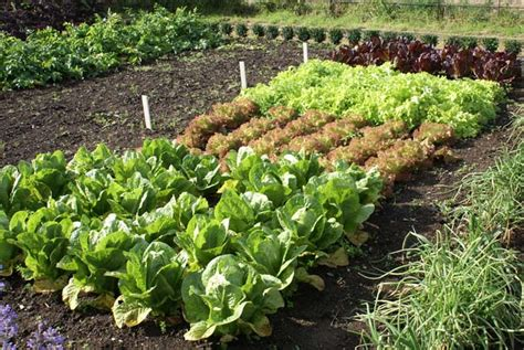 How To Grow Lettuce The Right Way-gardener's Path