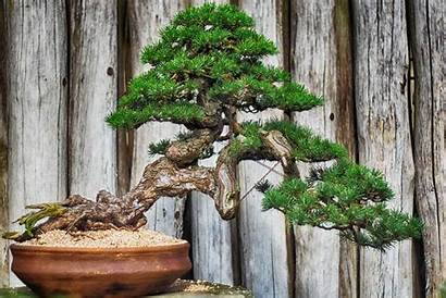 Bonsai Types Trees Plants