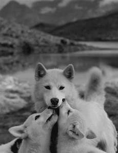 Bébé Loup Blanc : loup blanc louveteau bebe loup animal mignon espece en ~ Farleysfitness.com Idées de Décoration