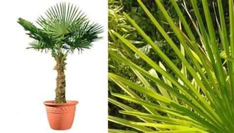 palmier chanvre en pot lot de 2 palmiers de chine en pot 180 200 cm de haut