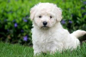 collectioncdwn cute bichon frise puppy