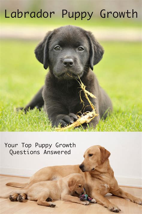 Lab Puppy Growth Stages Gallery