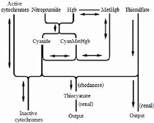 Proposed Mechanism Of Cyanide Toxicity  Hydrogen Cyanide