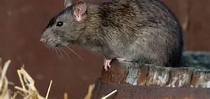 Comment Se Debarrasser Des Rats : comment se d barrasser des rats des champs taupier sur la france ~ Melissatoandfro.com Idées de Décoration