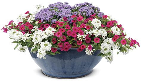 Recipes Patriotic Planting by Top 10 Patriotic Container Recipes Proven Winners