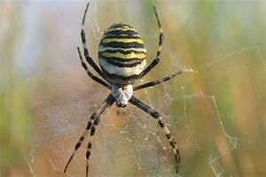 Spinnen Fernhalten Wohnung : webspinnen und weberknechte arten von spinnen spinnentiere ~ Whattoseeinmadrid.com Haus und Dekorationen